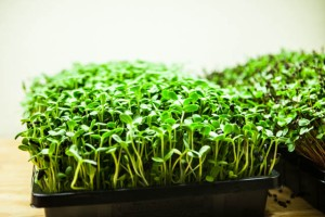 how-to-grow-microgreens-0691