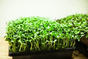 how-to-grow-microgreens-0691
